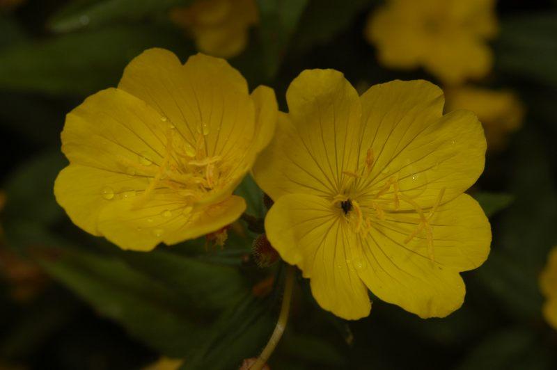 Blüte einer Nachtkerze