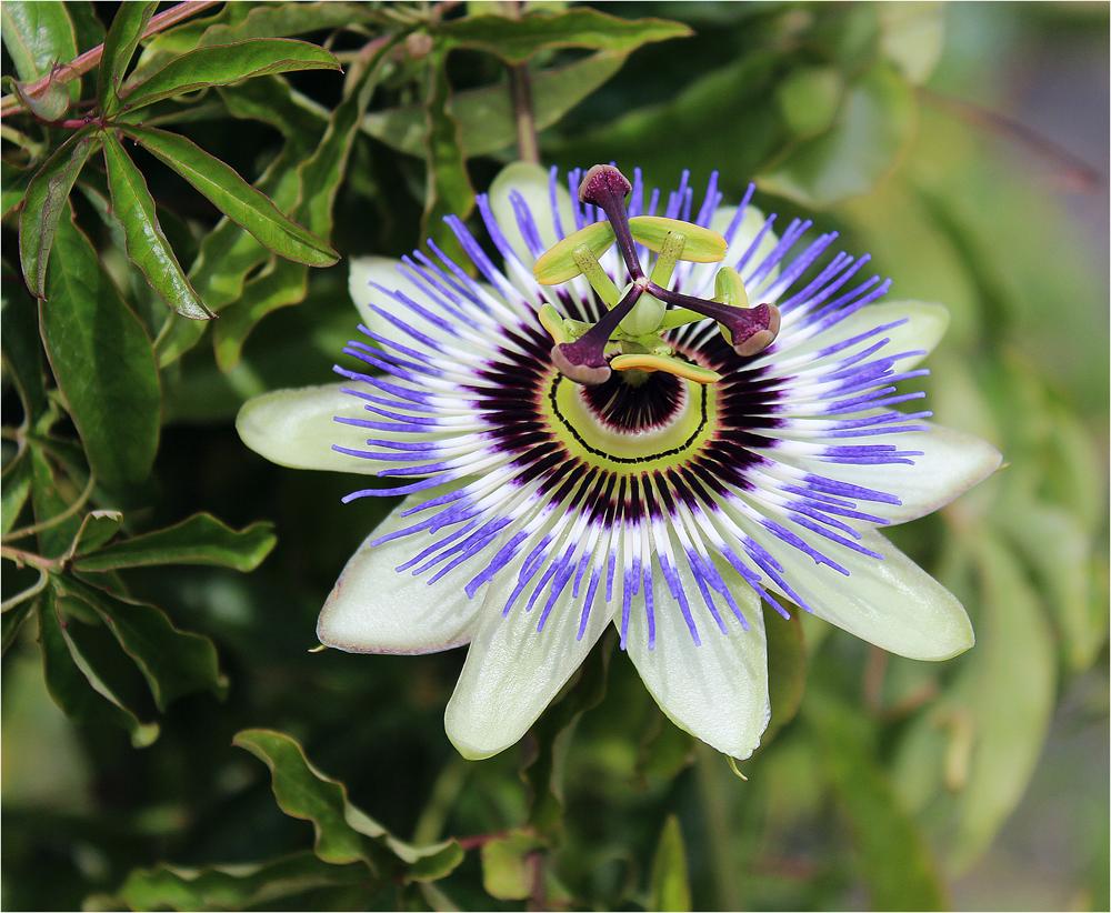 Blüte einer Passionsblume