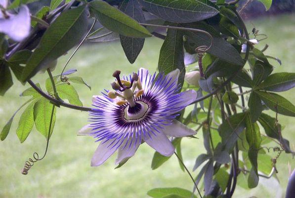 Blüte einer Passionspflanze