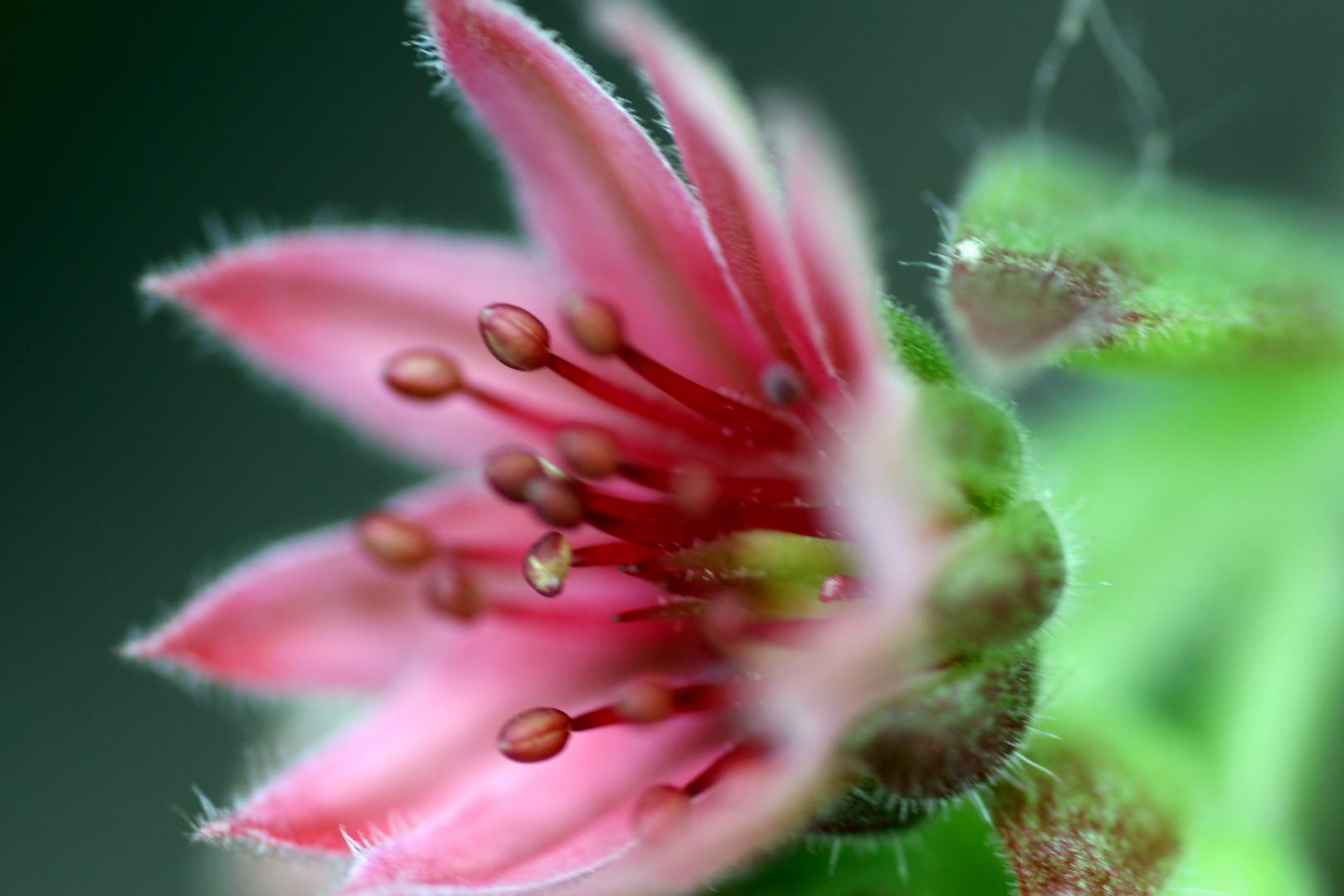 Blüte einer Steinpflanze