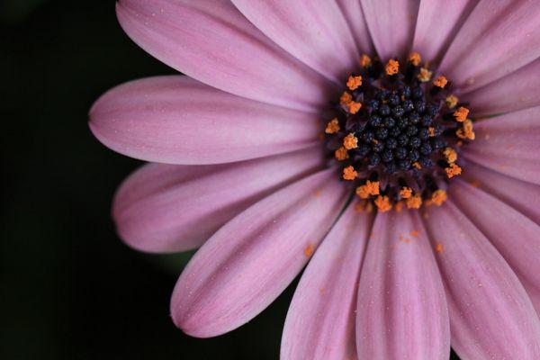 Blüte eines Kapkörbchen