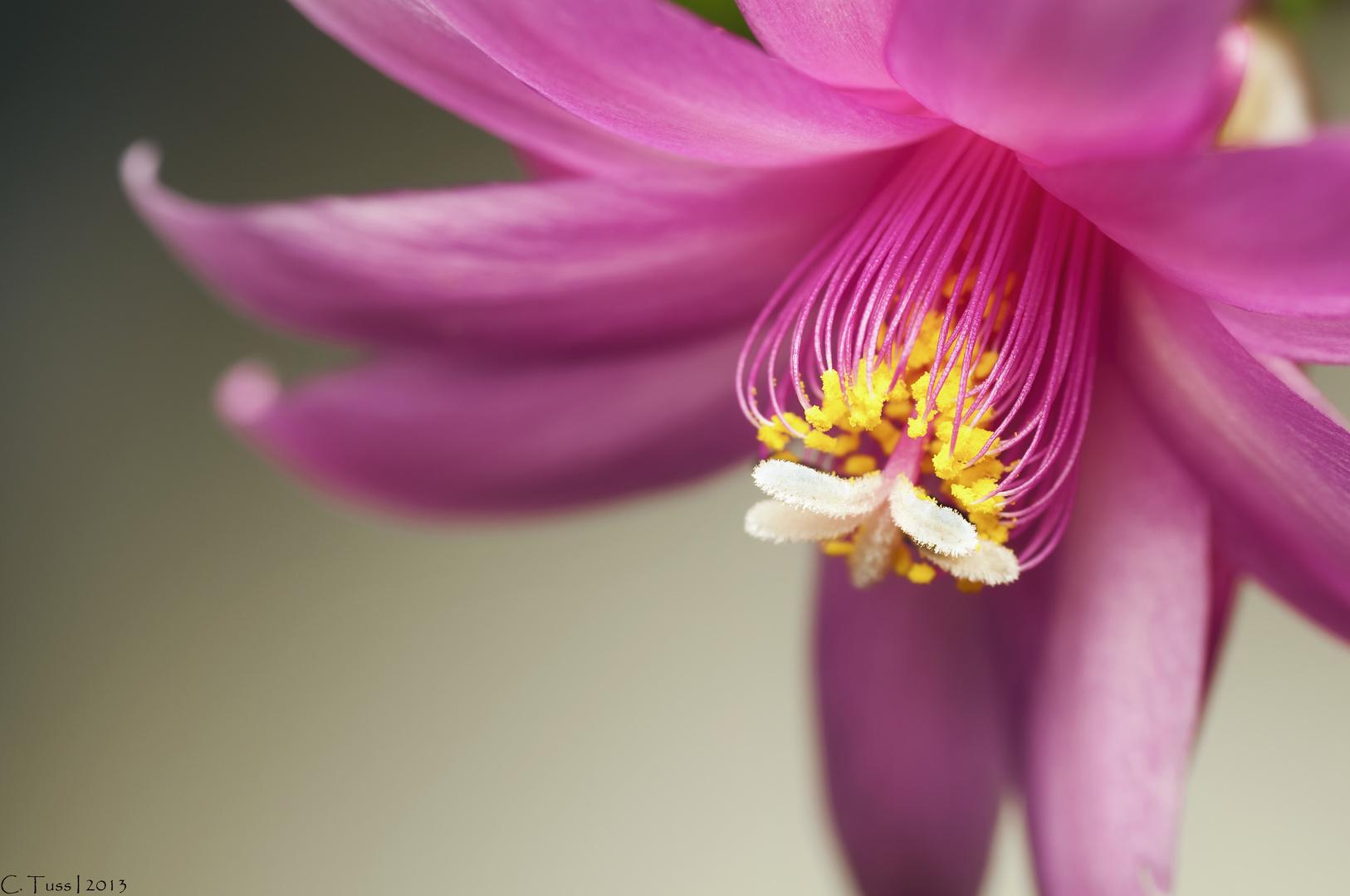 Blüte eines Osterkaktus