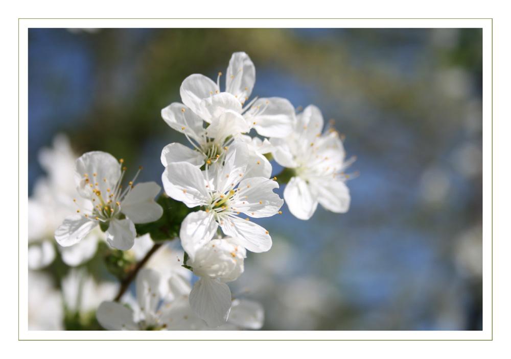 ....Blüte eines Sauerkirschbaumes....