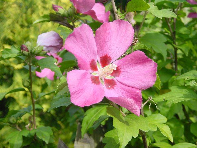 Blüte eines Strauches in unserem Garten