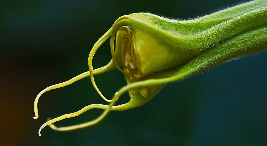 Blüte Engelstrompete