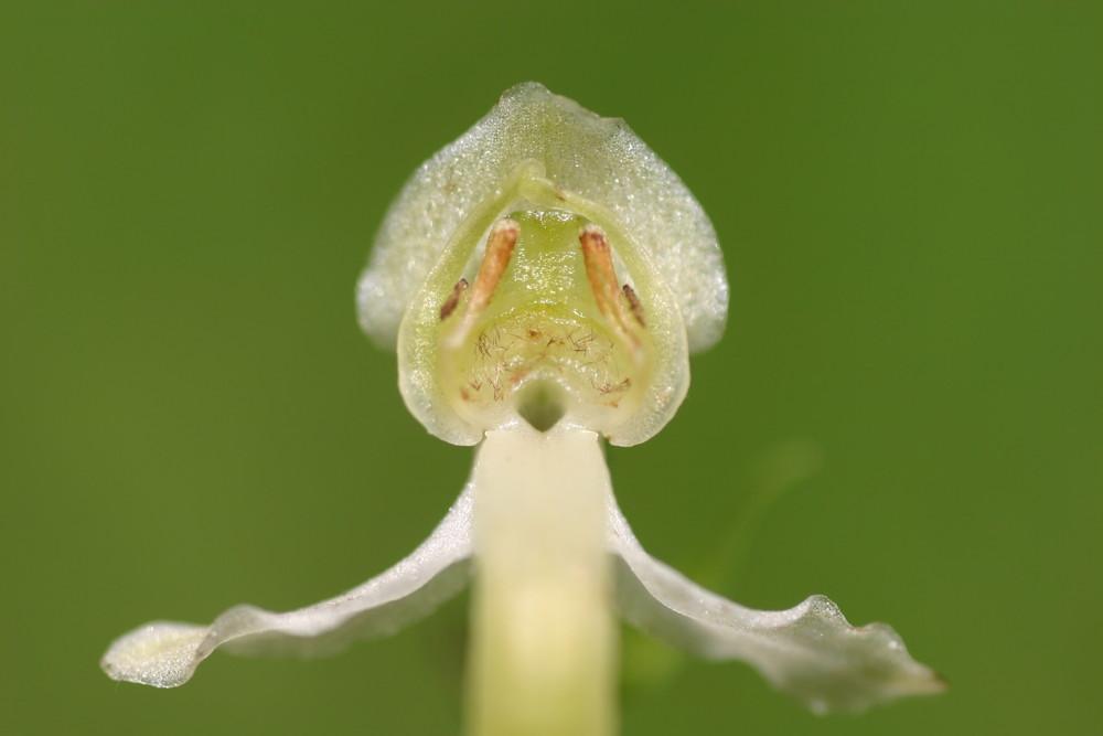 Blüte - Grünliche Waldhyazinthe