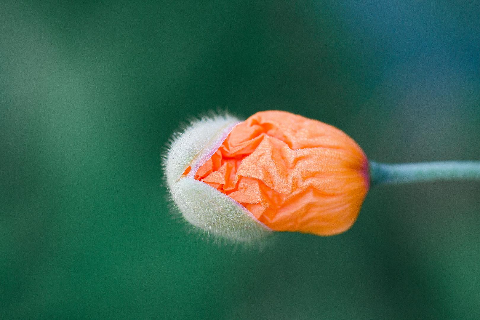 Blüte II