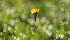 Blüte im Frühtau