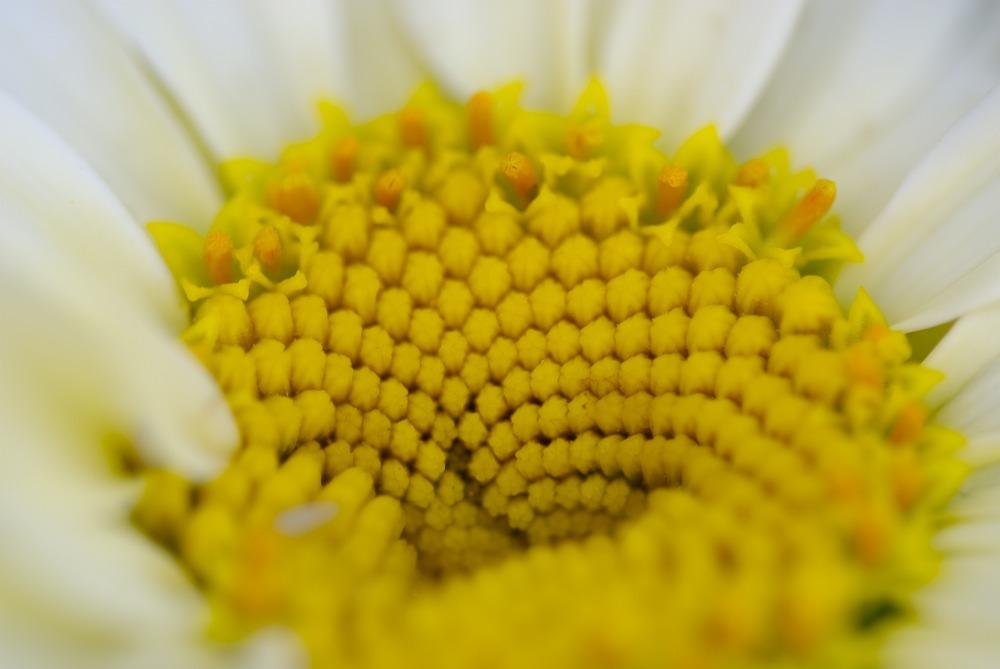 Blüte in gelb weiss