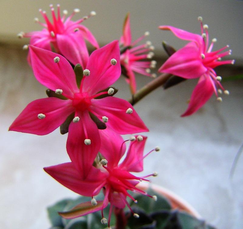Blüte in Pink.