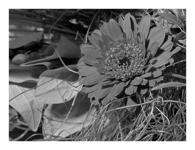 Blüte in s/w..