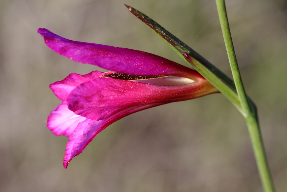 Blüte Italienische Gladiole