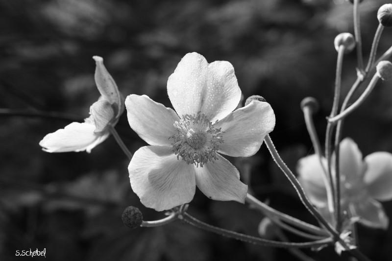 Blüte mal schwarz/weiss