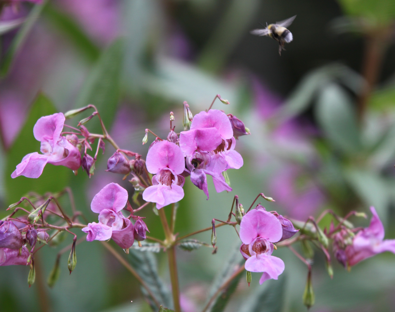 Blüte mit Hummel im Anflug