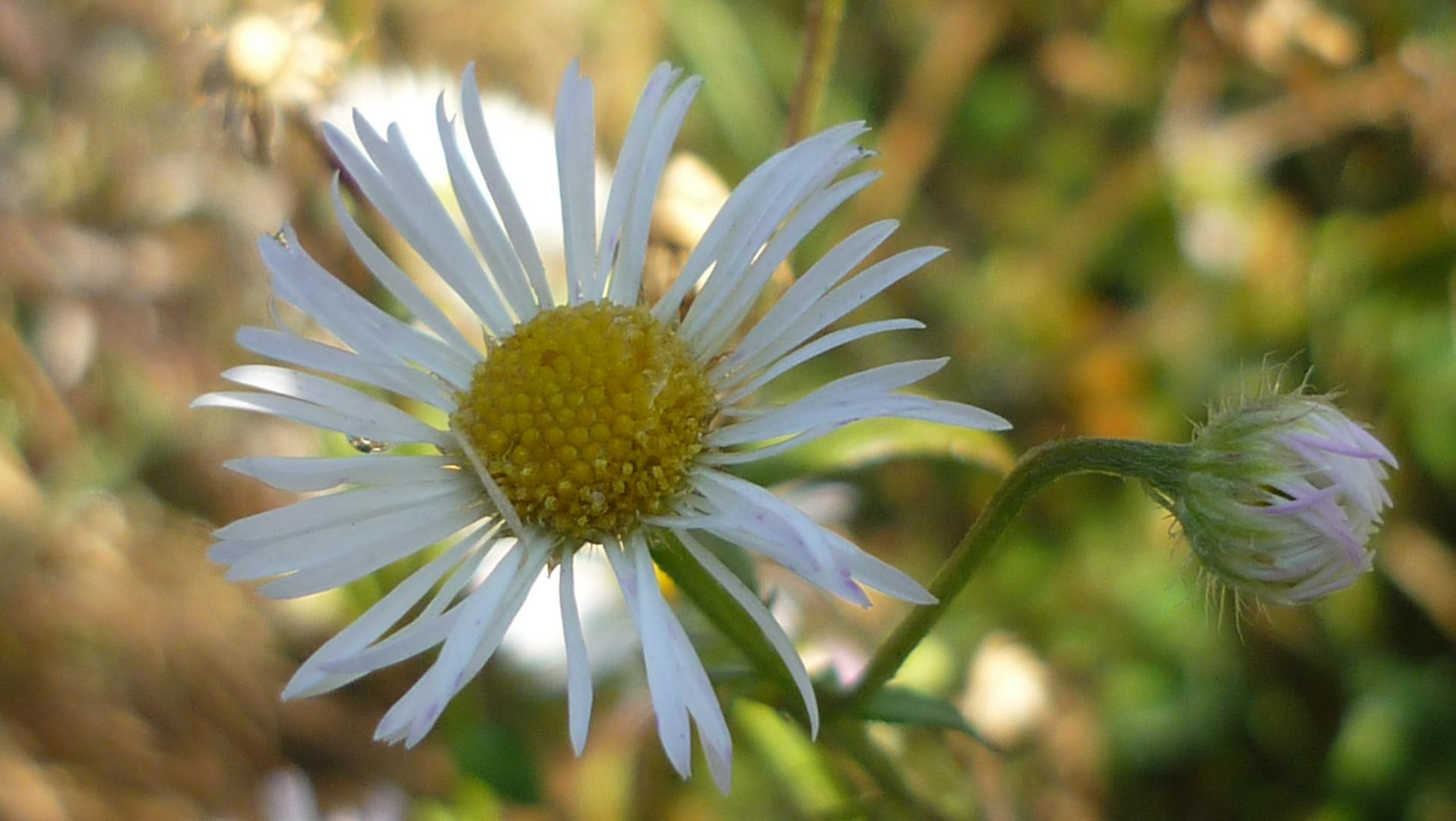 Blüte mit Knospe