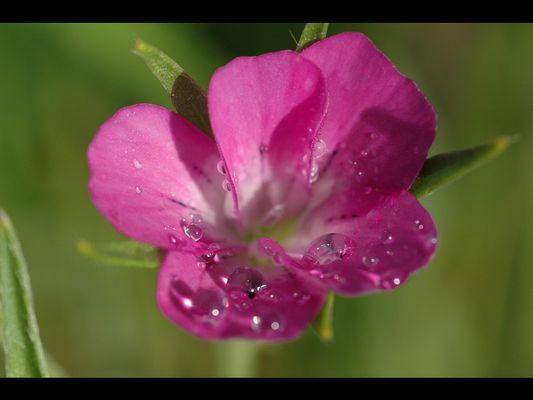Blüte mit Regentropfen
