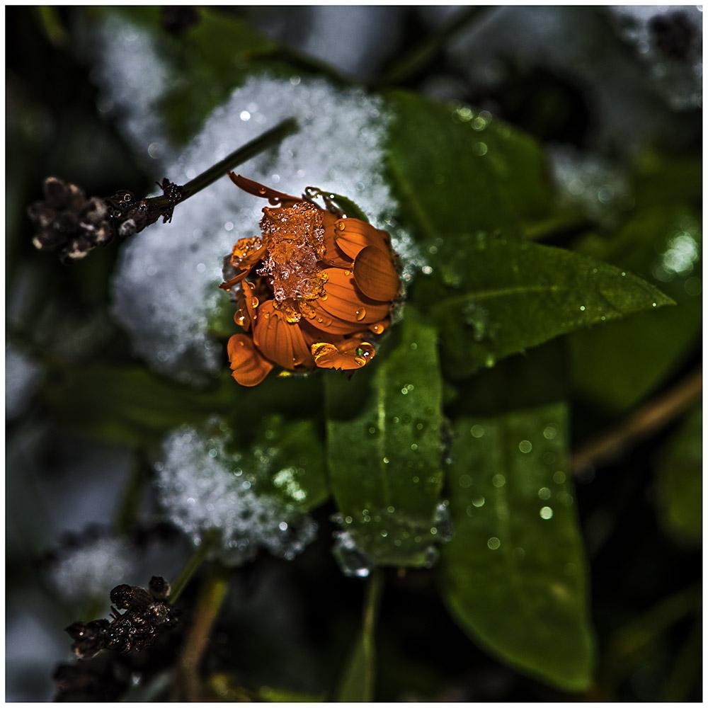 Blüte mit Schneekristallen