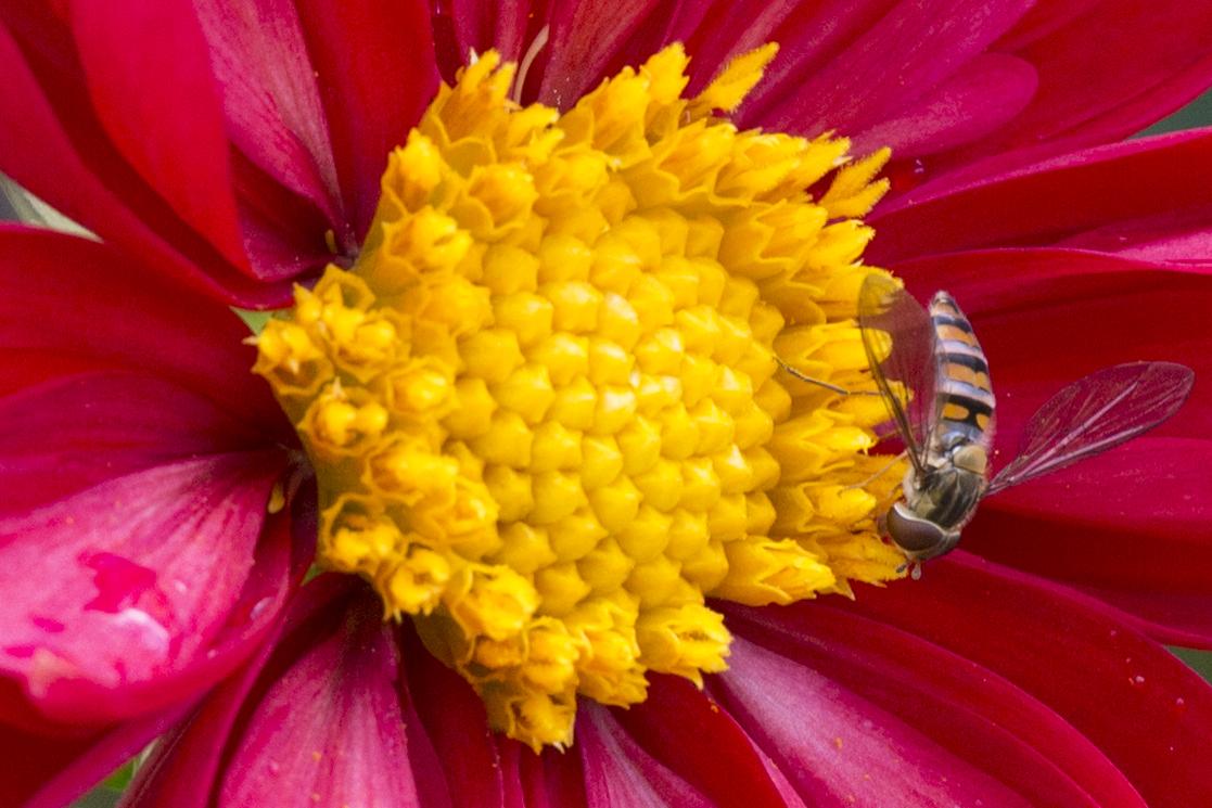 Blüte-nah mit Insekt-Wilhelma 6
