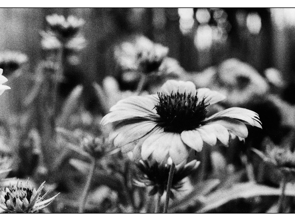 Blüte s/w