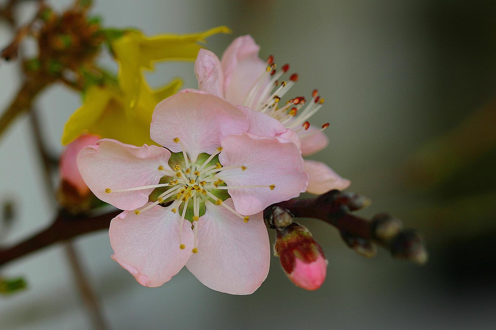 Blüte und Knospe vom Pfirsichbaum