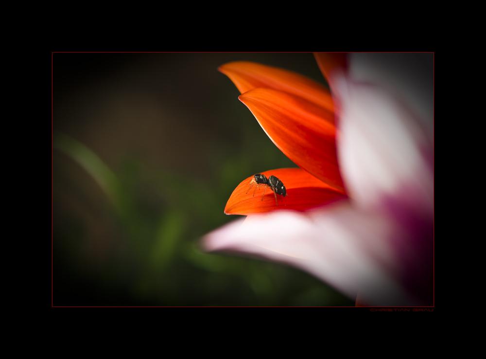 Blüte und Spinne