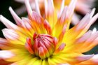 Blüte vom Bodensee