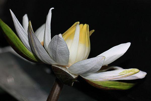 Blüte vom roten Tigerlotus,(Nymphaea lotus)