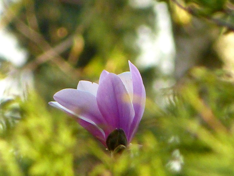 Blüte vom Tulpenbaum