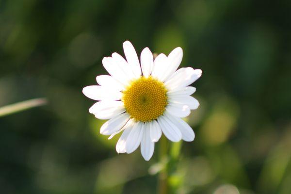 Blüte von der Margeritenblume