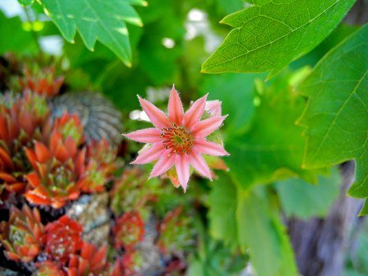 Blüte von Sukkulenten - Makro