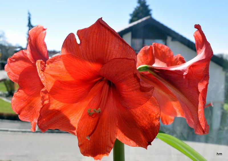 Blüte zur Unzeit? Amaryllis auf dem Fensterbrett
