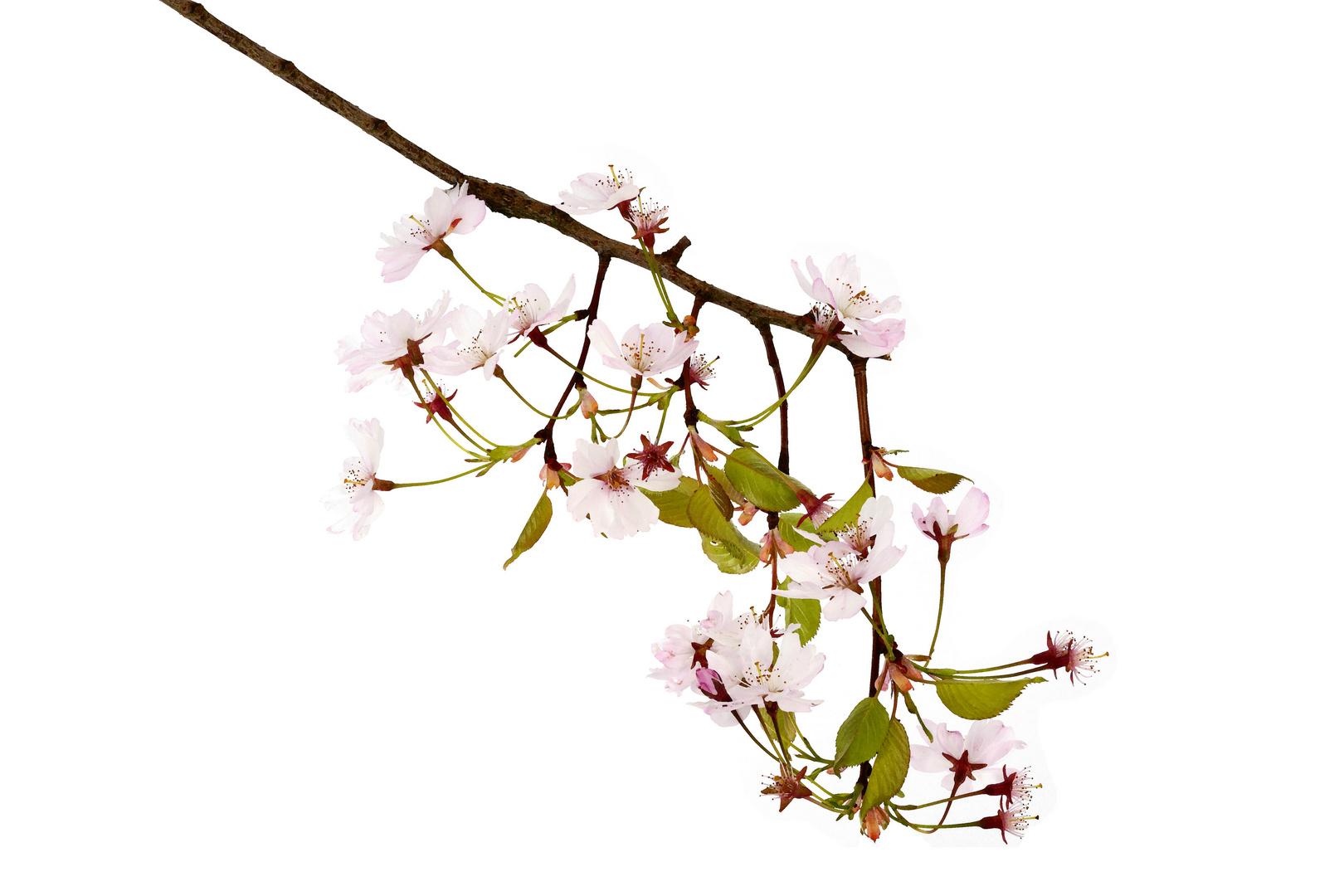 Blüten ai