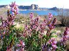 Blüten am Lake Powell
