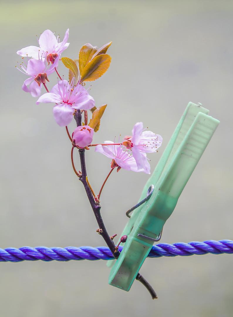 Blüten an der Wäscheleine