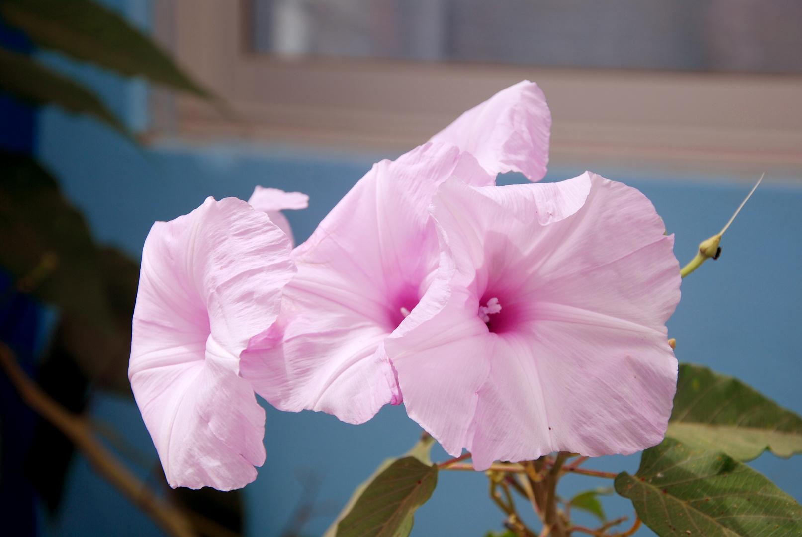 Blüten auf Cabo Verde