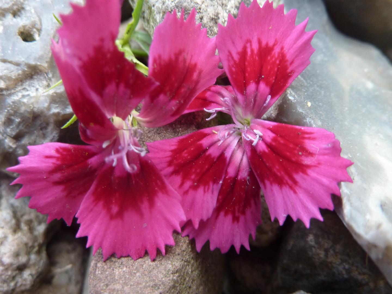 Blüten auf Steine