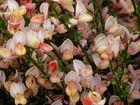 Blüten Bretagne