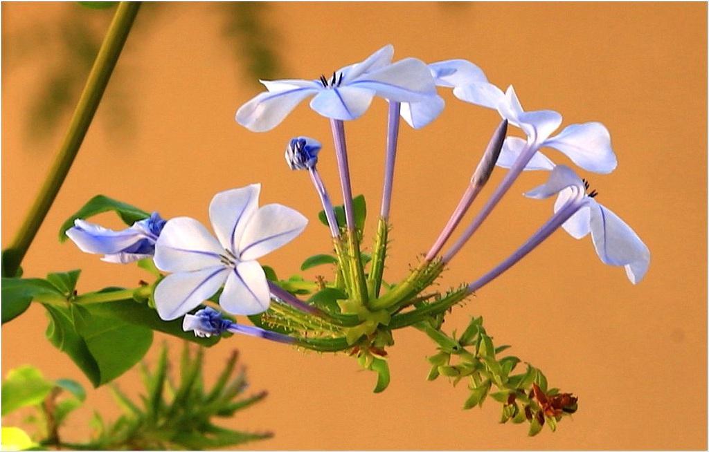Blüten der Bleiwurzranke