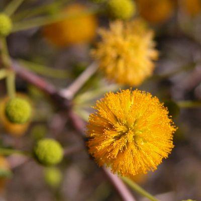 Blüten der Kalahari
