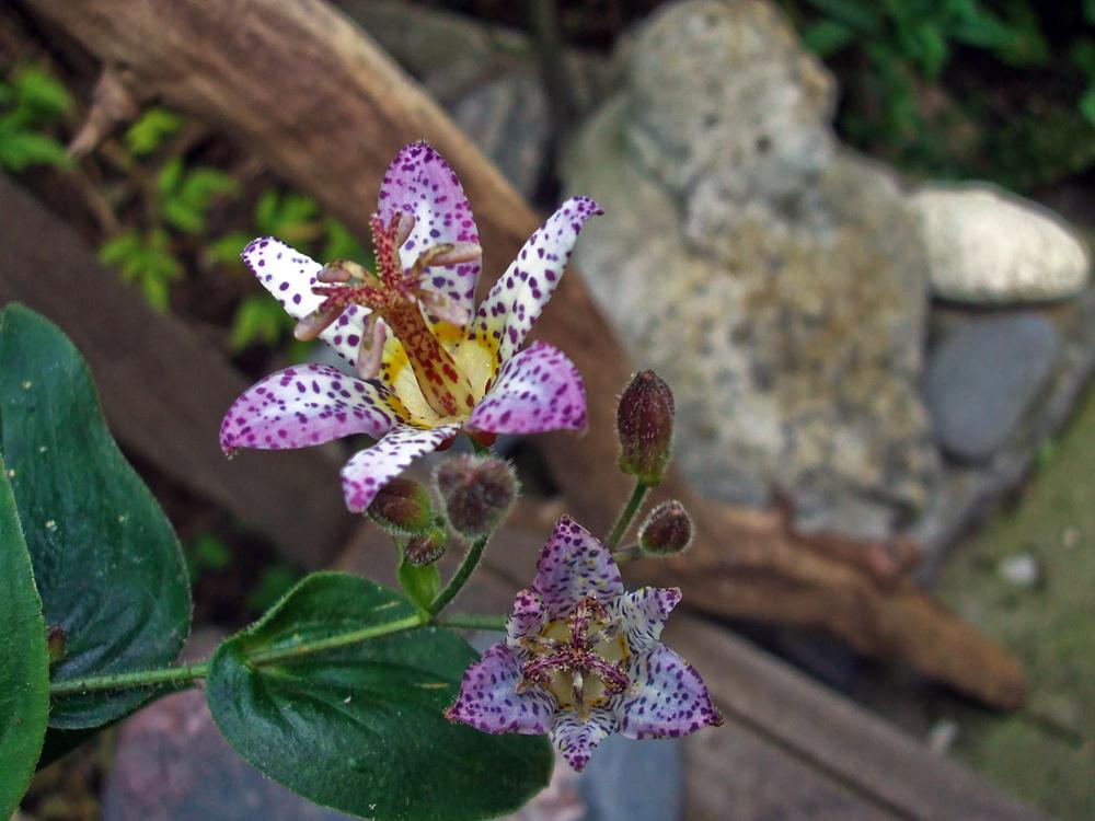Blüten der Krötenlilie