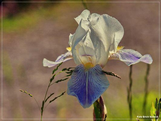 Blüten der Saison - die weiße Iris