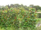 Blüten der Stangenbohnen