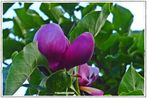 Blüten der Tulpen-Magnolien