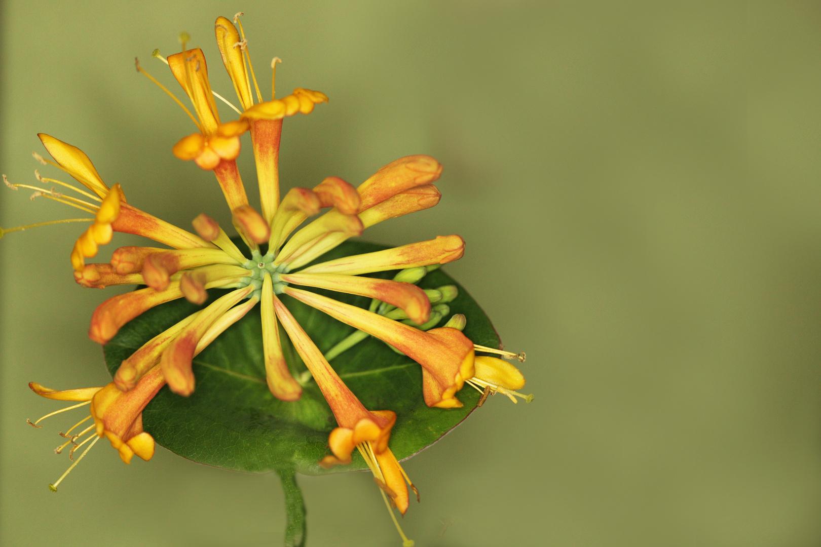 Blüten der Waldrebe