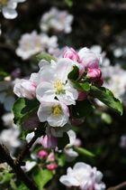 Blüten des Apfelbaumes