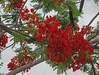 Blüten des Flammenbaums