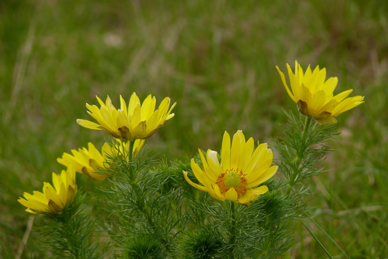 Blüten des Frühlingsadonisröschens