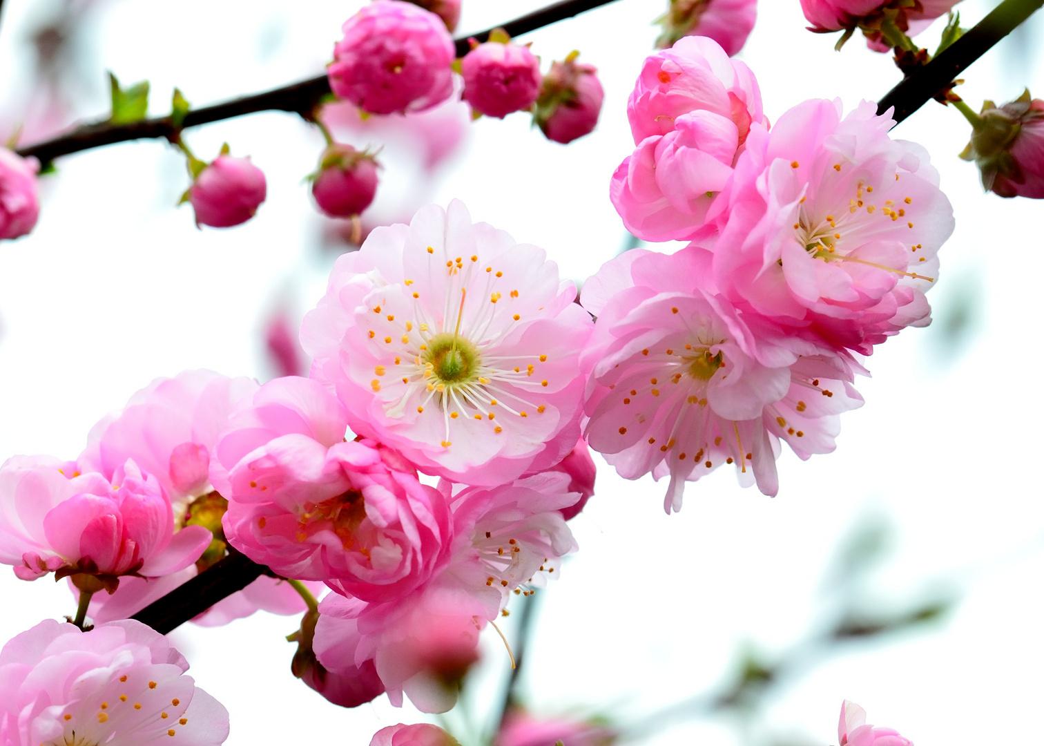 Blüten des Mandelbäumchen