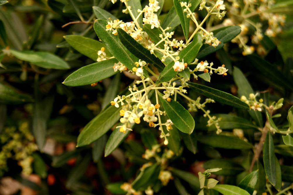 Blüten des Olivenbaumes