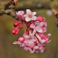 Blüten des Winterschneeball